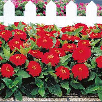 Zinnia Dreamland Red F1 Seeds