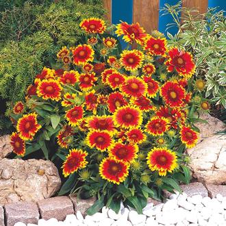 Gaillardia Arizona Sun Seeds