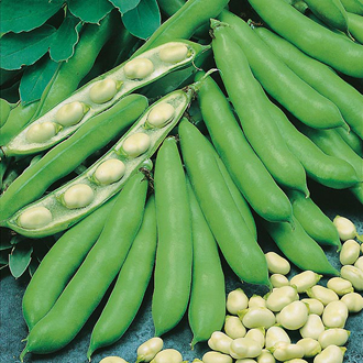 Sow broad bean seeds now