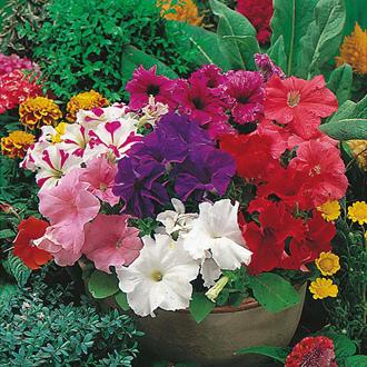 Petunia Mr F's Grandiflora Mixed F1 Seeds