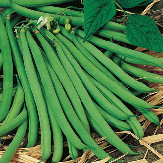 Climbing Bean Sultana Seeds