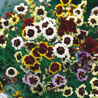 Coreopsis Unbelievable Seeds