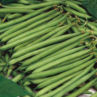 Dwarf Bean Calgary Seeds