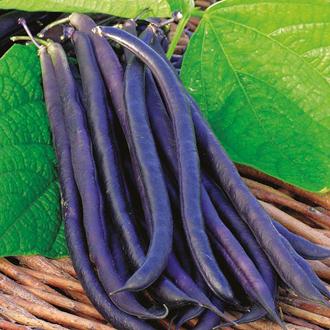 Dwarf Bean Amethyst Seeds