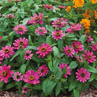 Zinnia Lilac Rose Seeds
