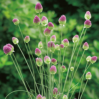 allium sphaerocephalon seeds from mr fothergill 39 s seeds and plants. Black Bedroom Furniture Sets. Home Design Ideas