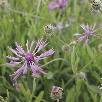 Amberboa Desert Star Seeds