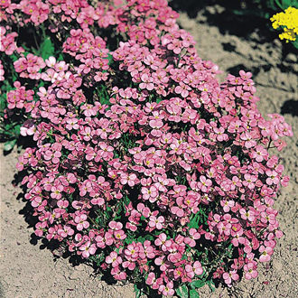 Arabis Compinkie Seeds