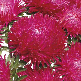 Aster Balloon Red Seeds