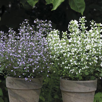 Calamintha Marvelette Blue & White Seeds