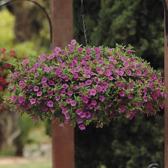 Calibrachoa Kabloom Deep Pink F1 Seeds