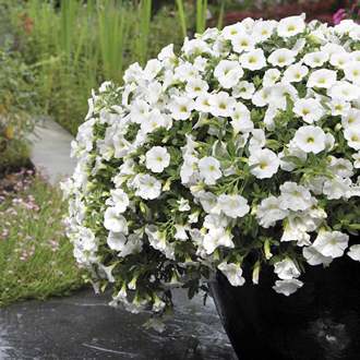 Calibrachoa Kabloom White F1 Seeds