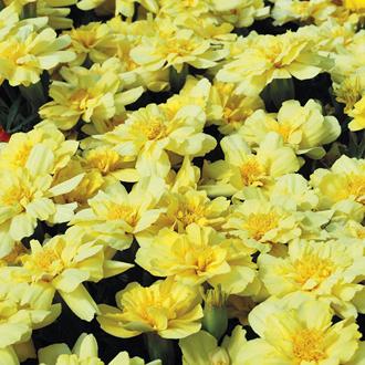 Marigold (African) Alumia Vanilla Cream Seeds