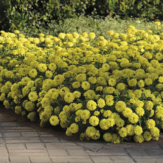 Zinnia Double Zahara Yellow Seeds