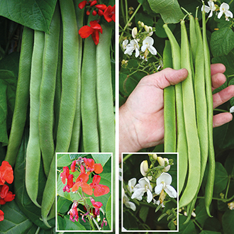 Runner Bean Self-Pollinating Collection