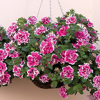 Petunia Tumbelina Anna Plants