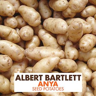 Potato (Second Early) Anya