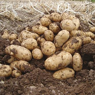 Potato (First Early) Arran Pilot