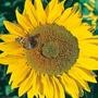 Sunflower Titan
