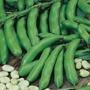 Broad Bean Witkiem (Organic)