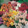Antirrhinum Seeds Tom Thumb Mixed