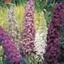Buddleja Mixed