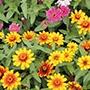 Zinnia Zahara Sunburst Seeds