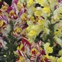 Antirrhinum Picasso Splash F2 Seeds