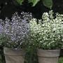 Calamintha nepeta Marvelette Blue & White Seeds