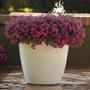 Calibrachoa Kabloom Deep Pink F1 in pot
