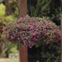 Calibrachoa Kabloom Deep Pink F1 in hanging basket