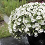 Calibrachoa Kabloom Deep White F1