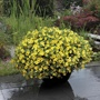 Calibrachoa Kabloom Yellow F1
