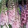 Delphinium Raider Pink Shades F1 Seeds