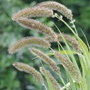 Grass Setaria Lowlander