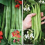Self-Pollinating Runner Bean Collection