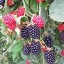 Blackberry Ouachita Plant