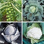 Club Root Resistant Brassica Plant Collection