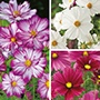 Cosmos Plant Collection