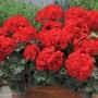 Geranium Designer Scarlet Flower Plants