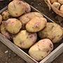 Potato (Maincrop) Cara