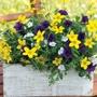 Trixi® Twinkle Star Flower Plants