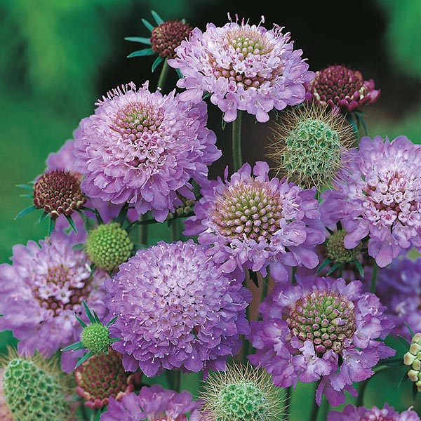 Rspb Scabious Blue Cushion Seeds From Mr Fothergill S