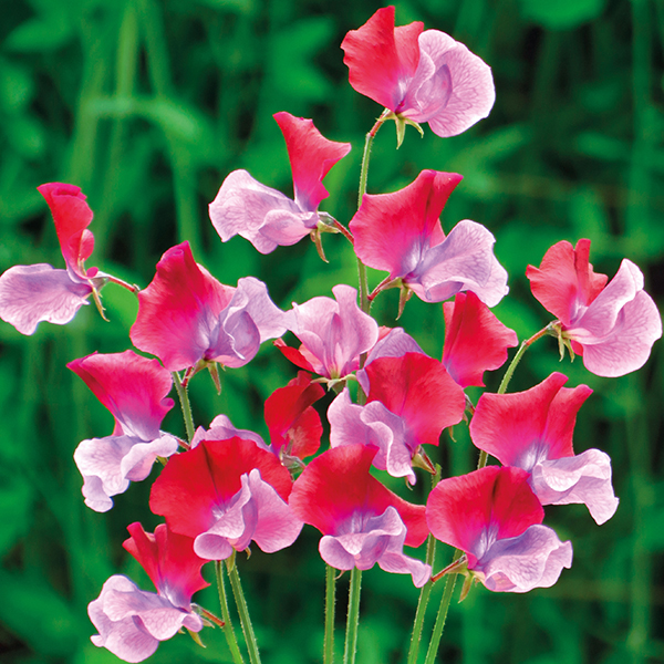 Sweet Pea Emilia Fox Seeds from Mr Fothergill's Seeds and ...