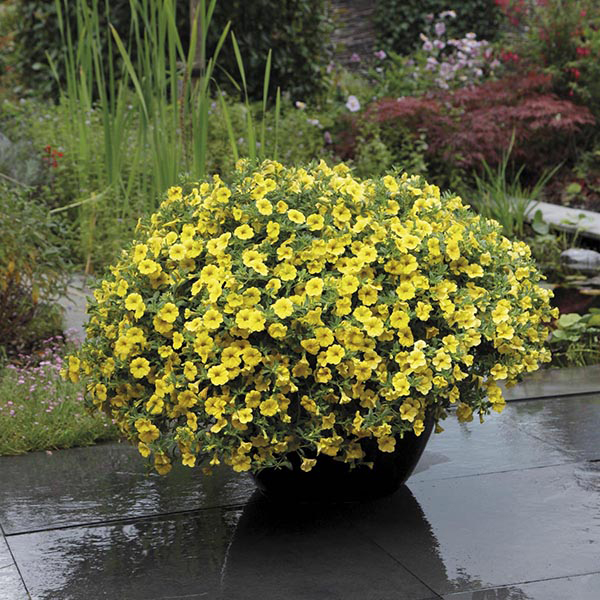 Calibrachoa Kabloom Yellow F1 Seeds from Mr Fothergill's ...