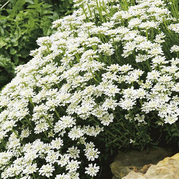 Candytuft iberis sempervirens seeds from mr fothergill 39 s for Iberis sempervirens