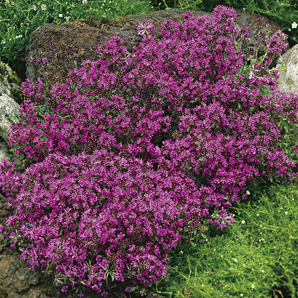 Thymus Thyme Praecox Creeping Red Seeds From Mr