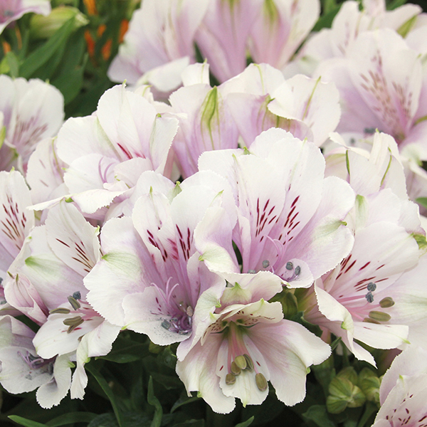alstroemeria inticancha moonlight plants from mr fothergill 39 s seeds and plants. Black Bedroom Furniture Sets. Home Design Ideas