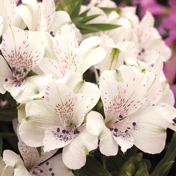 Alstroemeria inticancha magic white plants from mr fothergills alstroemeria inticancha magic white plants mightylinksfo Gallery