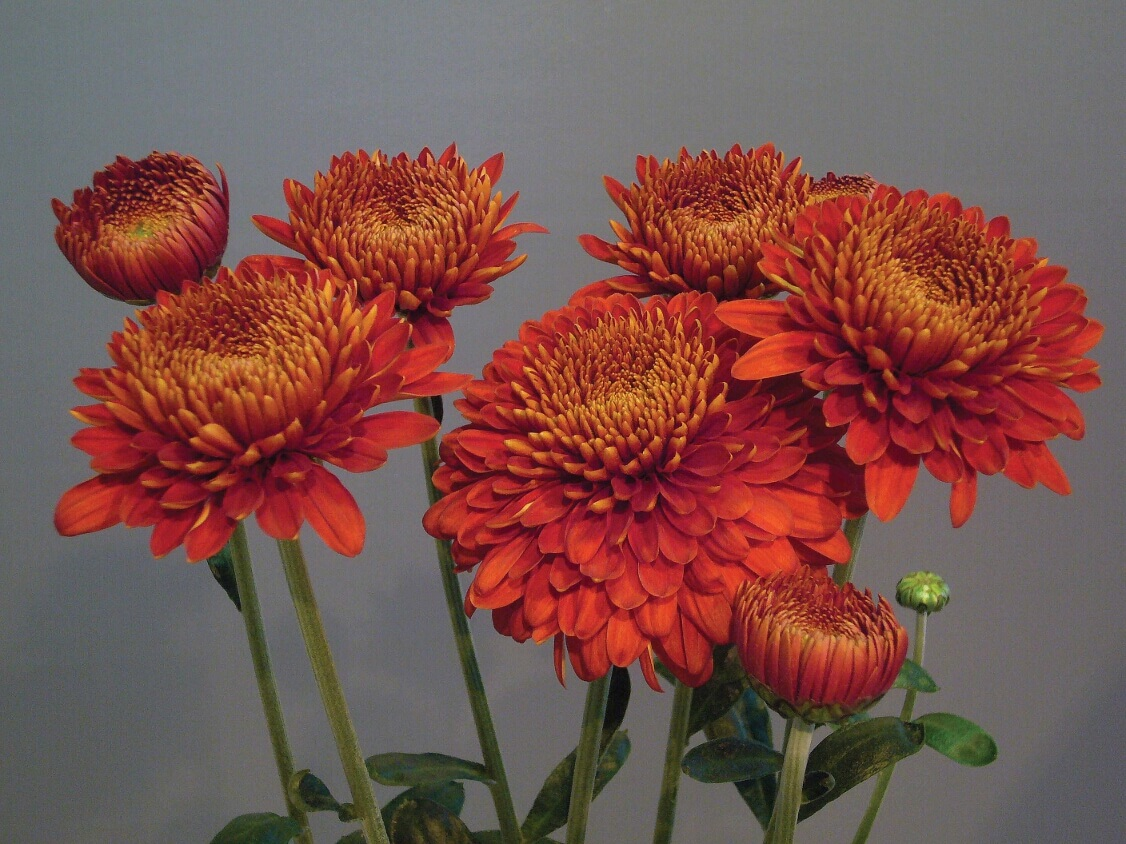 Chrysanthemum Margaret Red Plant from Mr Fothergill s Seeds and Plants